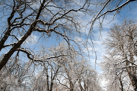nip: Snowbound trees in the park