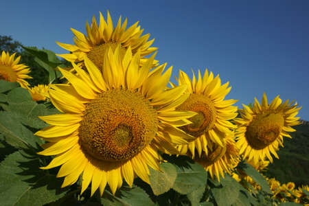 helianthus annuus: Sunflowers on the clear blue sky background