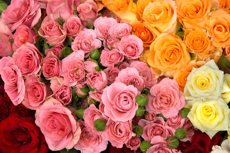 orange rose: Group of red, pink, yellow and orange rosses