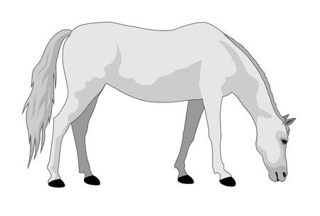 graze: vector illustration of feeding white horse