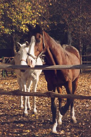 hoofed: Brown and white horses on autumn background Stock Photo