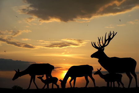 animal silhouette: Deers herd silhouettes on sunset background