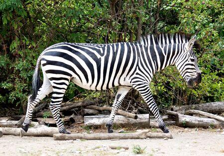 herbivorous animals: A zebra walking in the zoo Stock Photo