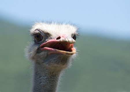 biped: Ostrich head shooted in a ostrich farm