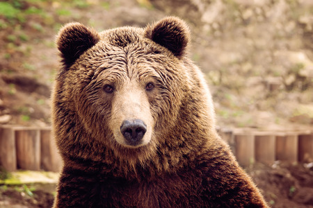 갈색 곰의 전면보기