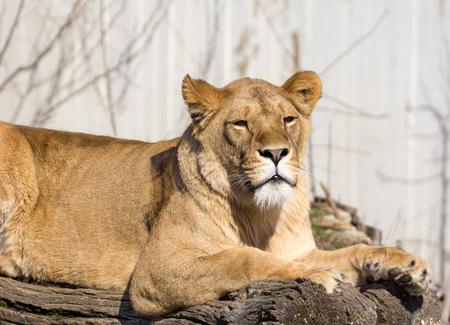 resting: Lion resting