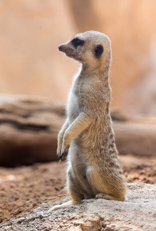 typical: An meerkat standing in typical pose