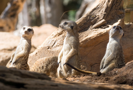 typical: Three meerkats standing in typical pose