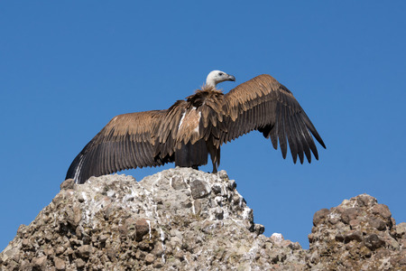 outspread: Griffon vulture over rock with outspread wings
