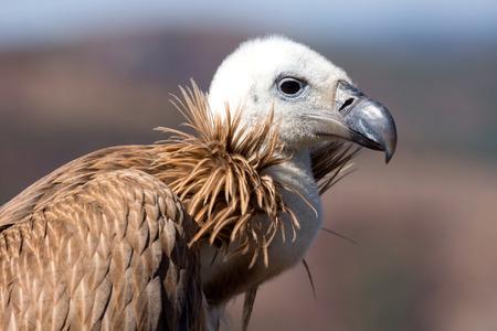 gyps: Closeup of griffon vulture head