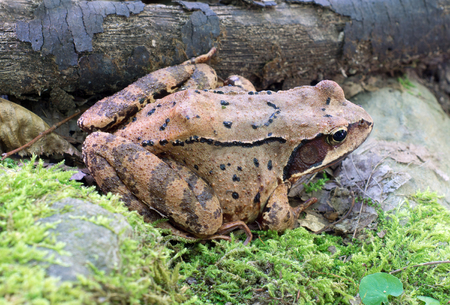frog jump: Close up of brown tree frog Stock Photo