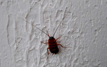 salvador, bahia, brazil - february 4, 2021: cockroach insect is seen in residence in the city of Salvador.