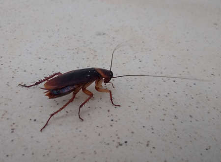 salvador, bahia, brazil - february 4, 2021: cockroach insect is seen in residence in the city of Salvador. 版權商用圖片