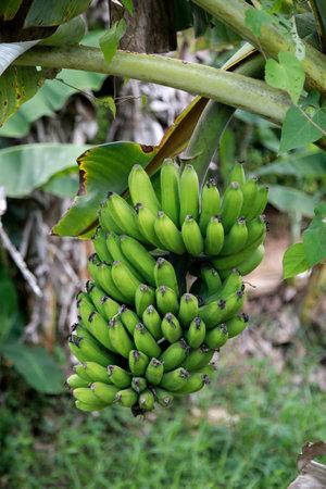banana plantation in the countryside in the rural area of Mata de Sao Joao Foto de archivo