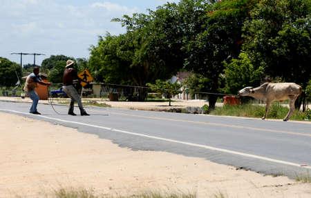 Porto Seguro, Bahia / Brazil - March 14, 2012: Cowboys tie Heifer on the BR 367 highway in the city of Porto Seguro.