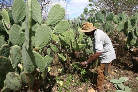 vitoria da conquist, bahia / brazil - october 28, 2010: farmer cuts cactus leaf to feed cattle in the Pau Ferro region, in Vitoria da Conquista.