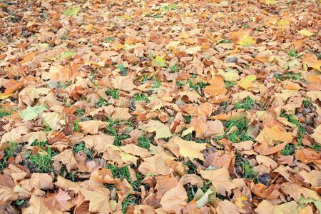 Brown autumn leaves on the grass with focus on the front