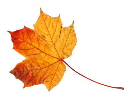 autumnal: Yellow orange red colored maple leaf isolated on white background