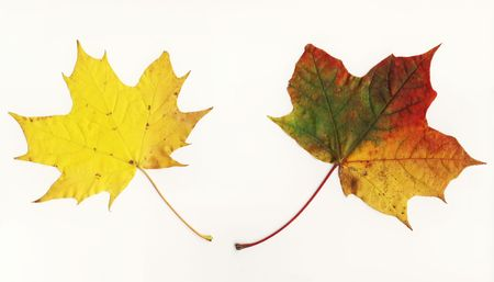 Two green,yellow, orange and red coloured maple leaves,big file photo