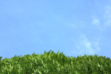 hedging: Backdrop of green thuja leaves and blue sky Stock Photo
