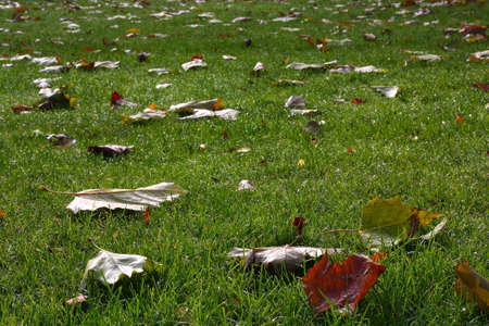 Fallen plane tree leaves shining on a dewy grass in the morning photo