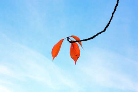 Twig of a tree with last three red color leaves against the sky photo
