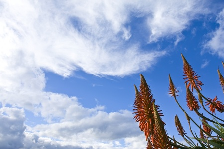 Red Aloe Vera flowers with blue sky and clouds in the background