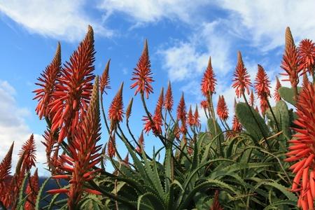charnu: Fleurs rouge Aloe Vera avec le ciel bleu et les nuages en arri�re-plan Banque d'images