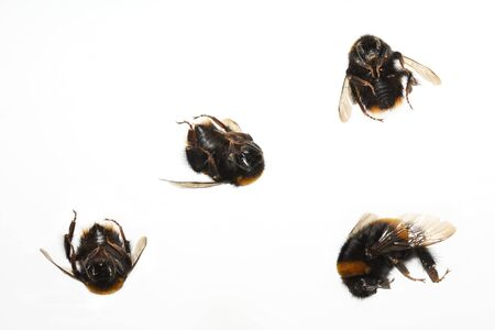 Four dead insects bumble bees isolated on white Stock Photo