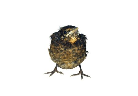 Close up of baby chick of Common Blackbird isolated on white background photo