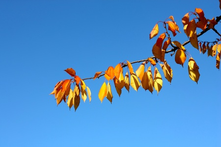 browning: Tree branch with yellow,orange and brown leaves with blue sky background
