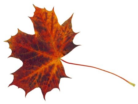 browning: Single flame colored maple leaf isolated on white