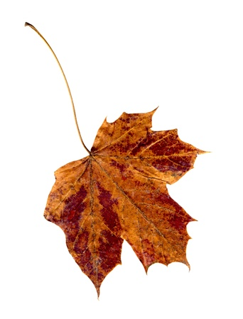 browning: Old dry orange red maple leaf on white background