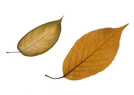 Close up of two textured dried brown leaves on white background