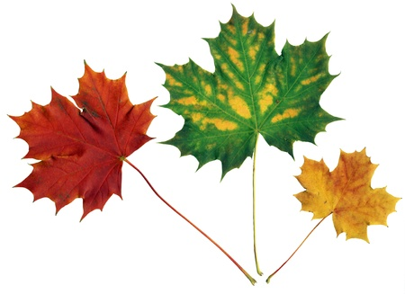equinox: Close up of 3 red, green and yellow maple leaves on white background