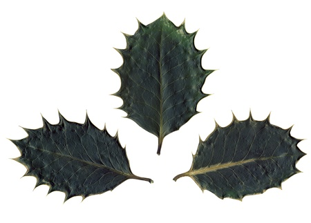 prickle: 3 dark green dried spiked holly leaves on white background