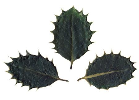 �spiked: verde oscuro 3 secas hojas de holly punzantes sobre fondo blanco