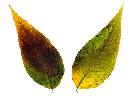 Two beautiful autumn leaves on white background Stock Photo