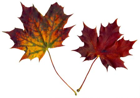 equinox: Two isolated multicolored leaves