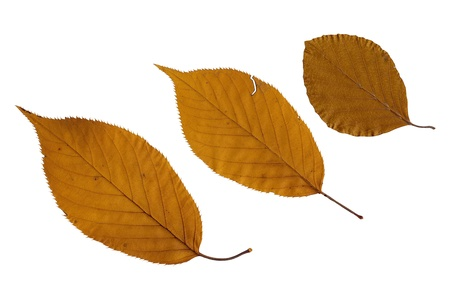 3 brown flat leaves isolated on white background photo