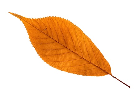browning: Close up of a single orange  brown dry leaf isolated on white Stock Photo