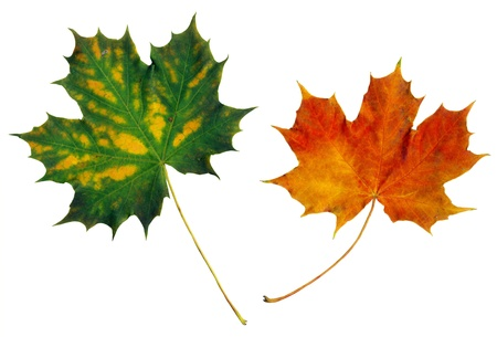 equinox: Two multicolored maple leaves on isolated on white background Stock Photo