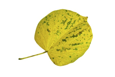 browning: National tree of Jamaica Blue Mahoe leaf in autumn yellow color isolated on white