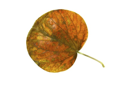 browning: Leaf of the national tree of Jamaica Blue Mahoe in autumn colors isolated on white