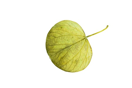 browning: Back of the leaf of caribbean tree Hibiscus Elatus in autumn yellow green colors isolated on white