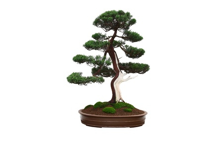 Chinese Juniper (Juniperus chinensis) bonsai tree in ceramic pot isolated on white background Stock Photo
