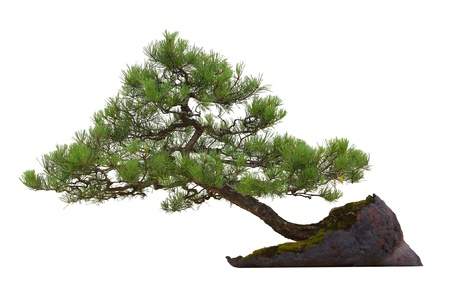 Scots Pine (Pinus sylvestris) bonsai tree growing on the rock isolated on white background
