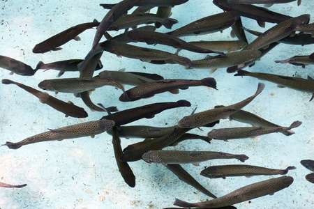 Group of spotted brown fish swimming in a clear water Stock Photo - 12625389