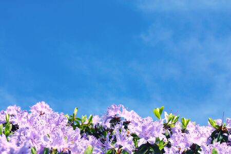 hedging: Purple rhododendron flower closeup and blue sky in background Stock Photo