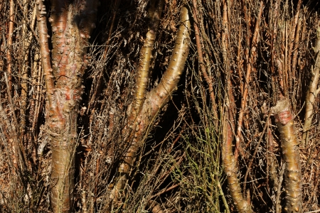 hedging: Close up of hedge - dense wall of thuja branches Stock Photo